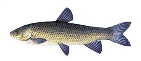 рыбалка на белого амура, белый амур